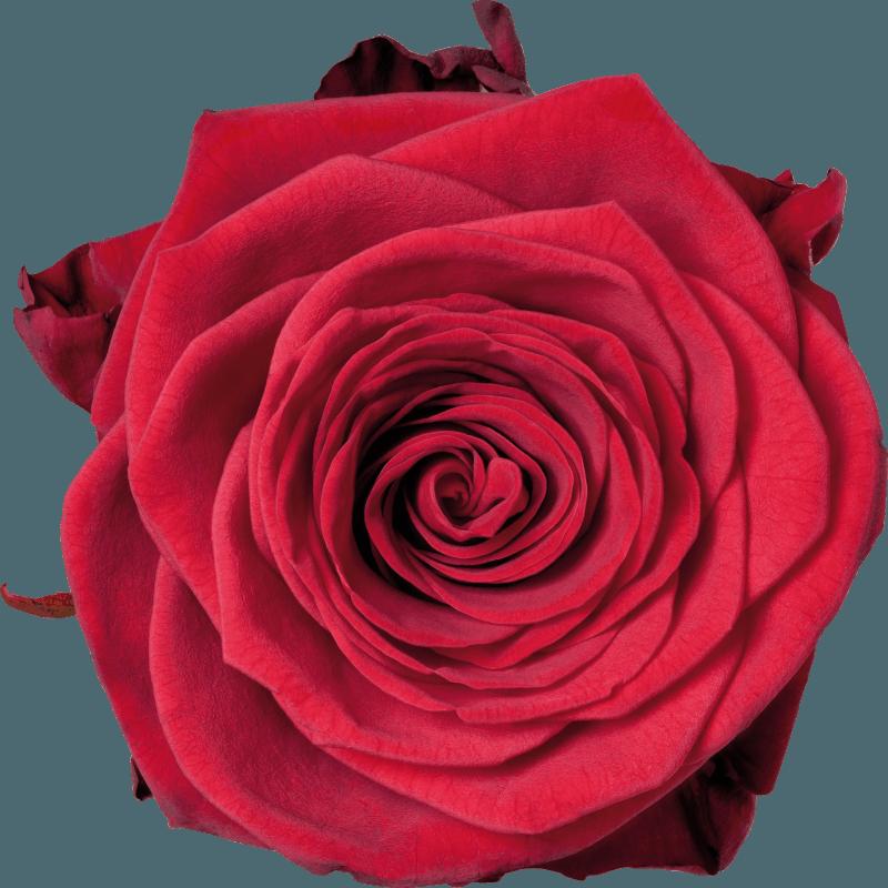 The Roses Red Naomi from  Porta Nova