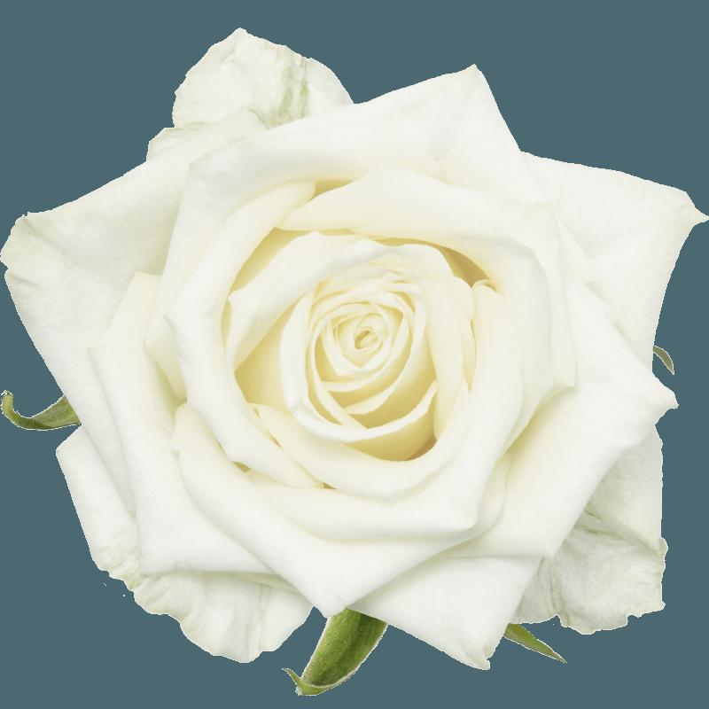 The rose White Noami from  Porta Nova