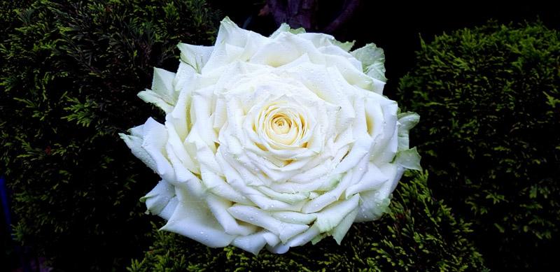 bridal glamelia