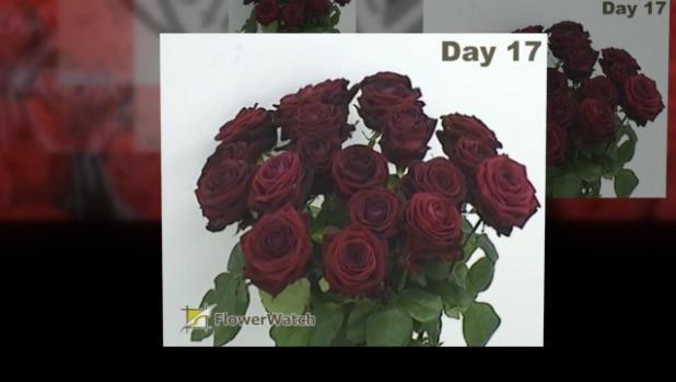 Timelaps of Red Naomi rosess