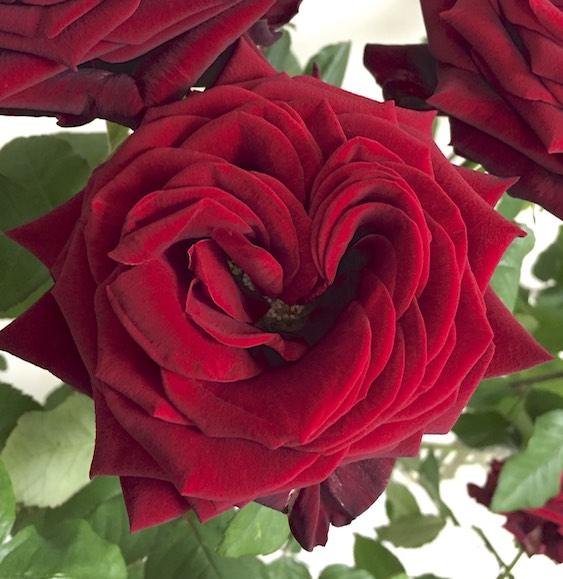 Porta-Nova-Heart-shape-rose-